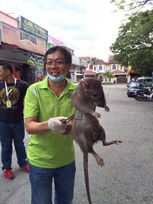 【リアルポケモン!】フィリピンでデカ過ぎるネズミが発見されるwww