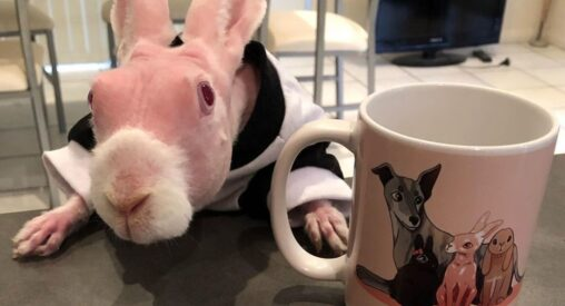 朗報【ハゲにもワンチャン!】毛のないウサギがSNSの人気者に