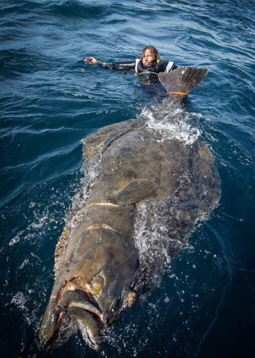 【バケモノ級】ノルウェー沖で釣り上げられた「巨大カレイ」が信じられない大きさだと話題に