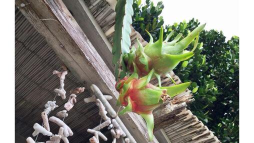 【食いたいか?】カラスが屋根にウンコしてドラゴンフルーツが実った