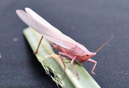 人間でいうアルビノ?【鳥取】ここにもいた水田に全身ピンクのキリギリス