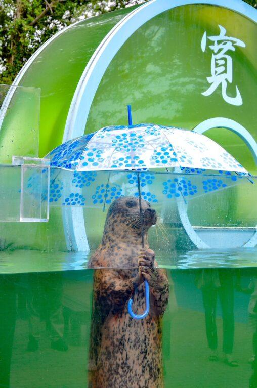 【高松】まるで人間!ビニール傘をさすゼニガタアザラシがすごい