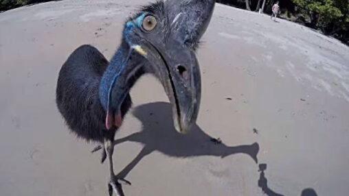【世界一危険な鳥!】ヒクイドリ強すぎワロタ