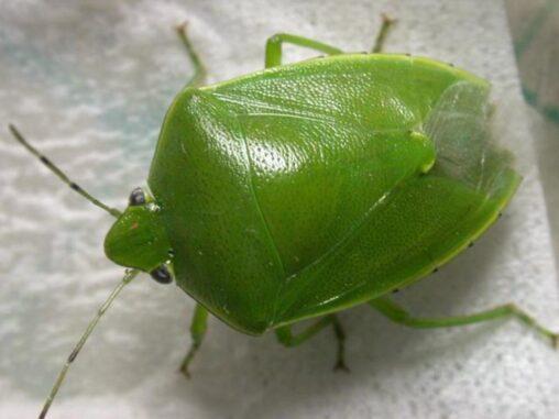 【昆虫】秋にカメムシが「大量発生」するのはなぜ?専門家の見解は…