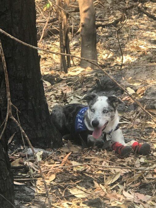 【オーストラリア】山火事、コアラ捜索に犬が出動脚に保護用靴下