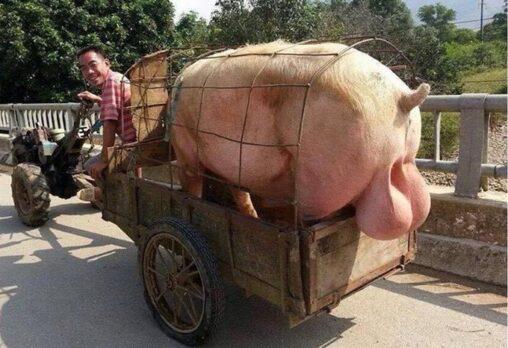 【これは尻尾です!】「豚のキンタマ」←デカくてワロタ!
