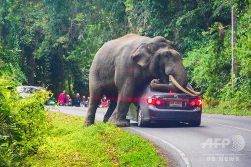 カオヤイ国立公園!【象】ゾウが通りがかりの車にのしかかる