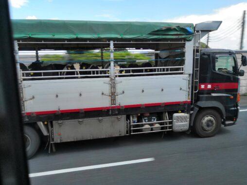 【モウ食べられない!】出荷前に泣く牛←これ見ても肉食べるの?
