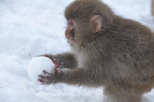 【☃雪合戦の準備か?】お猿さんが作った雪玉がまん丸