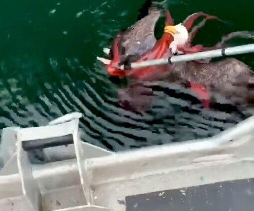 【カナダ】タコがワシを羽交い締め!見かねた漁師が議論した末に救助怒ったタコは真っ赤に…