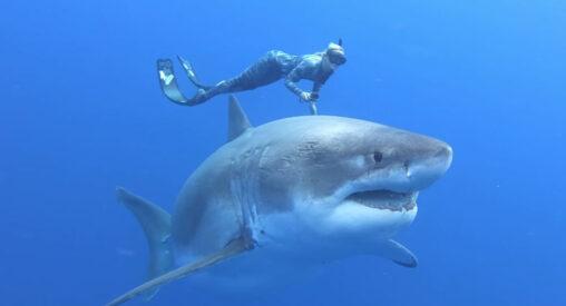 【喰われ…】ホホジロザメと泳ぐ命知らずの美人ダイバーが話題に