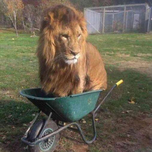 【恐怖】動物園のライオンさんうっかり本能を晒してしまう