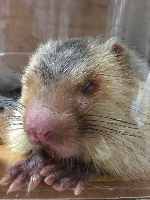 【新型肺炎】中国人、コロナウィルスの原因の竹ネズミを生で食べていた