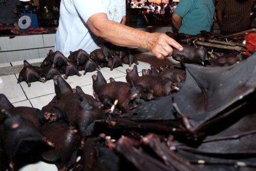 【料理し食べる!】今日も生きてるコウモリ販売するインドネシア感染ゼロの理由とは