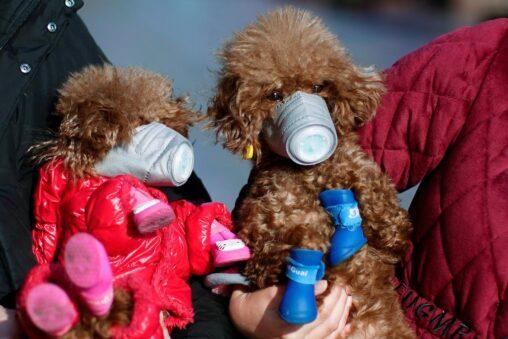 【香港】コロナ、犬にも感染ると判明、犬にもマスクを装着アルフみたいな姿がかわいそう