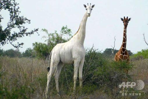 【アルビノ白変種!】色違いのキリンさんが美しすぎる件(ケニア)
