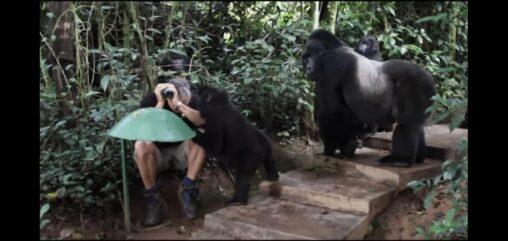 【野生遭遇】ジャングルでゴリラの家族に囲まれてしまった探検家の画像、怖すぎる