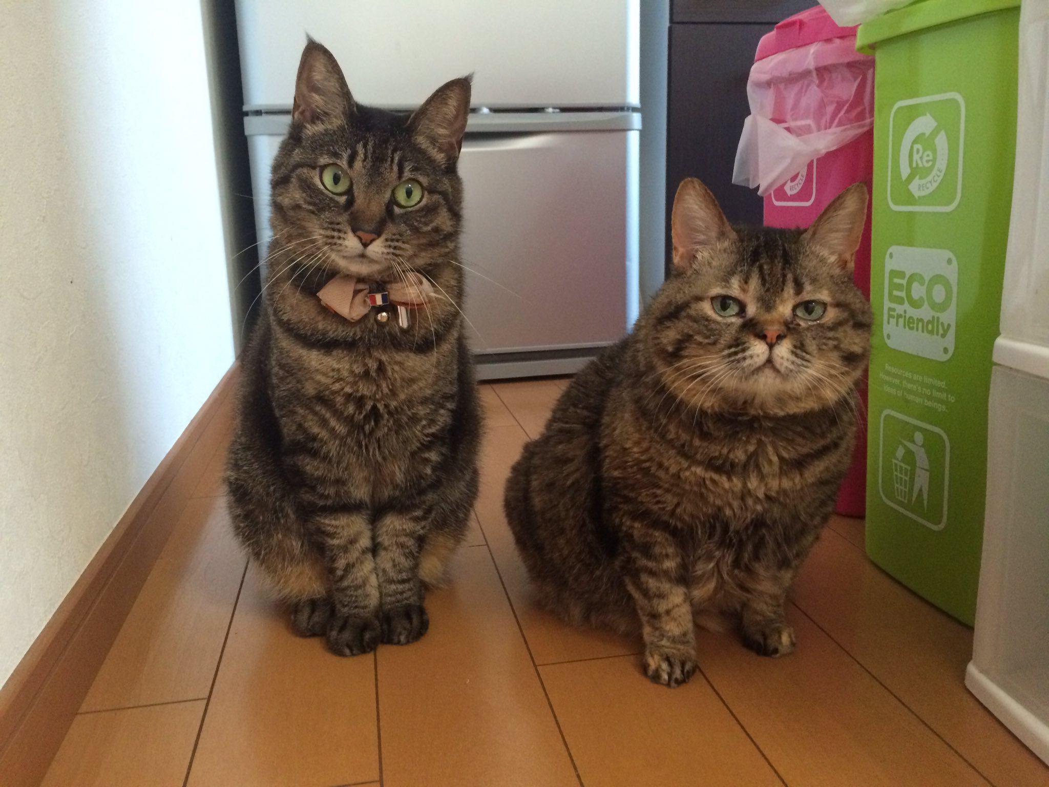 【こんなに可愛い訳がない!】猫の世界のお前ら見つけたわ(例えると)