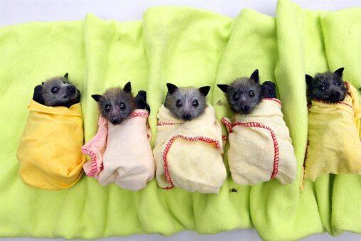 【生まれたて】コウモリの赤ちゃん、予想を裏切ってめちゃくちゃかわいい
