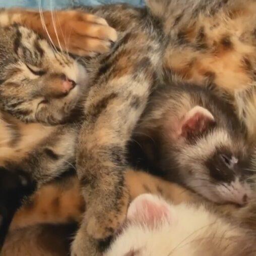 【仲良し】ネコとフェレットたちのぎゅうぎゅうお昼寝姿の癒やしパワーが半端ない