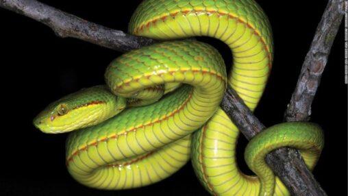 【まるで神龍】インドで新種の蛇発見、スリザリンと名付けられる