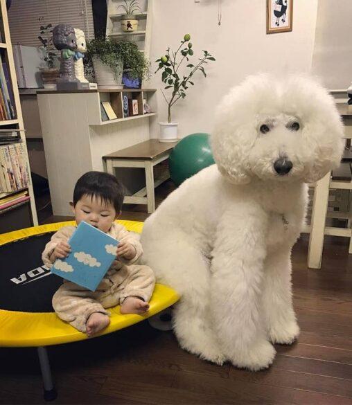 【巨大な白い犬!】プードルがでかすぎワロタ(絶対に強い)