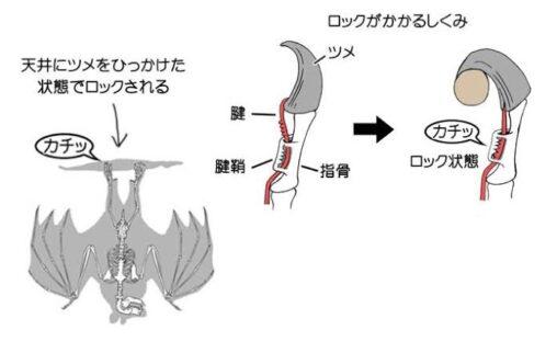 【ロックがかかる構造!】コウモリの仕組み
