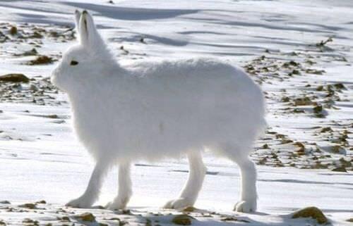 【北極うさぎが足で立つ動画!】謎の生き物が見つかる