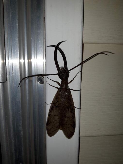 【オオアゴヘビトンボ!】たまに家にいる謎虫の正体