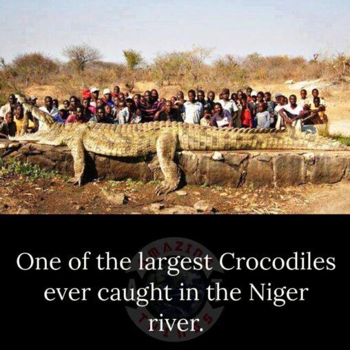 【恐竜】ニジェール川で捕獲した世界一大きいと言われるワニのサイズ
