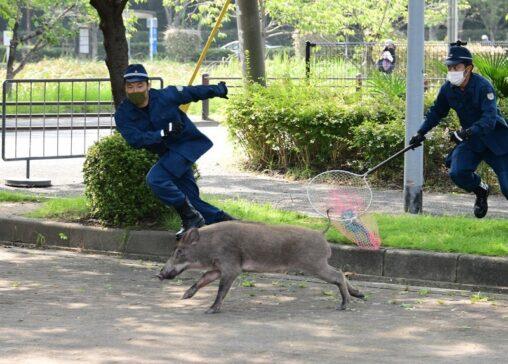 【躍動感!】福岡県警によるイノシシ捕獲劇がジワジワくると話題