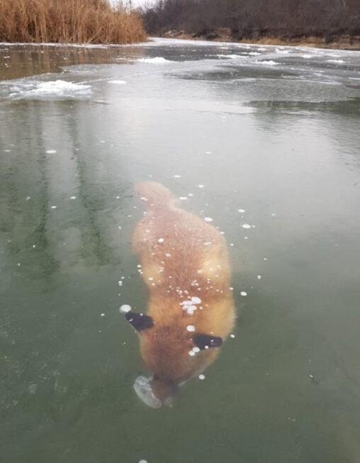 【死!】湖で泳いでたキツネ凍る