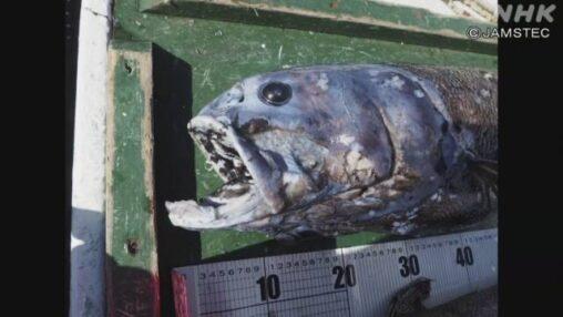新種のイワシを発見、セキトリイワシ科ヨコヅナイワシ 体長1.4m 体重25kg