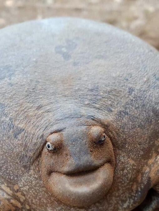【まるで鏡餅!】変な亀、見つかる