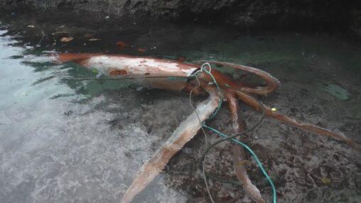 【島根】生きたダイオウイカが漂着!冷凍保存されました