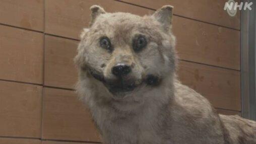 【恨み】絶滅したニホンオオカミの剥製が展示されるもなんか顔が怖い