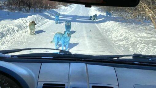 【コバルトブルー!】ロシアで青い犬の群れが出現