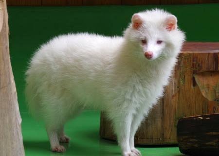 【アルビノ?】真っ白タヌキ、美しい