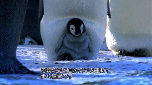 【癒し】ペンギンの赤ちゃん🐧、お母さんと一緒に歩く練習をする…!