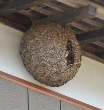 【茨城】スズメさん、うっかりスズメバチの巣に引っ越してしまう