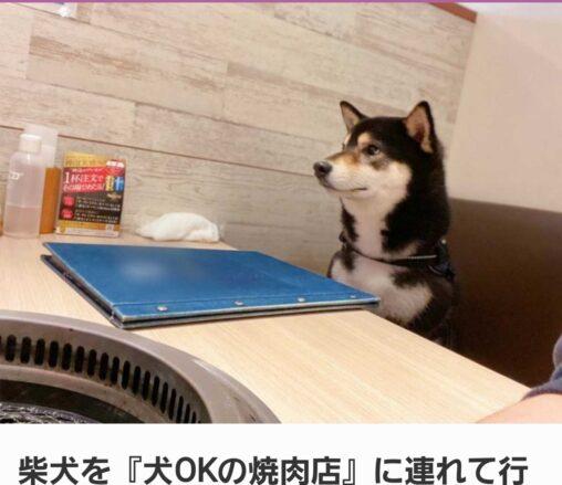 【次はお前の番だ】柴犬さん、犬OKの焼肉屋へ連れて行ってもらう