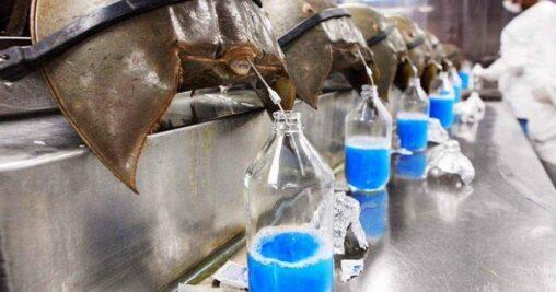 【人類に貢献!】カブトガニの血液を採る工場(画像あり)