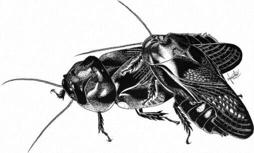 【画像】交尾の時に相手の羽を食べるゴキブリ発見、九州大
