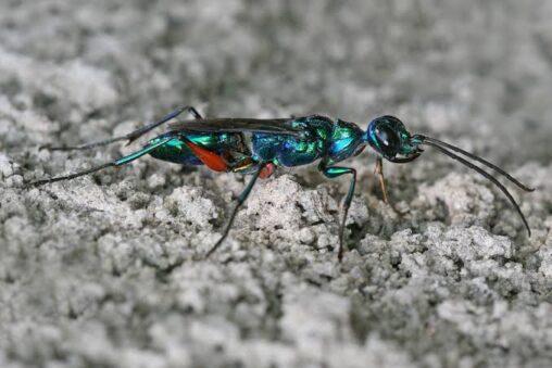 【恐怖】ゴキブリを洗脳して苗床にする「エメラルドゴキブリバチ」が恐ろしすぎると話題に…