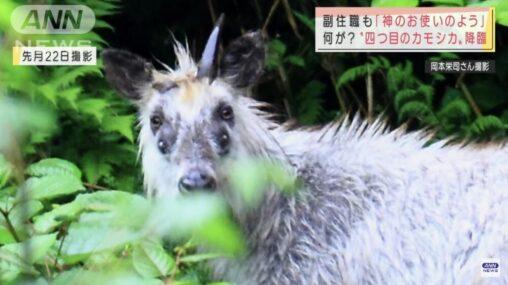 【四つ目!】奇形のカモシカが発見され世界中で話題に