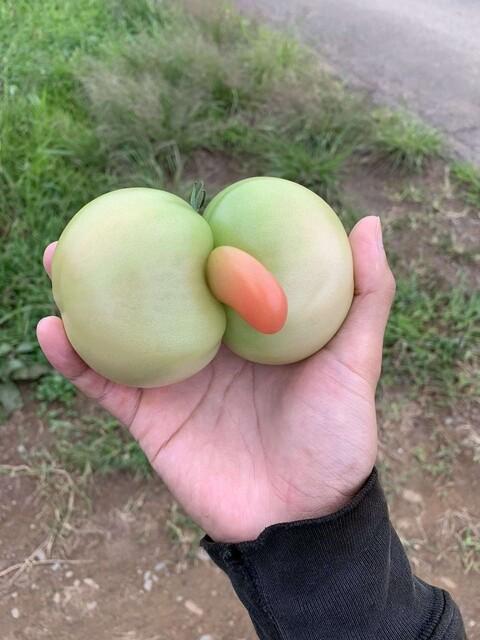 【速報】めちゃくちゃエッチなトマトが収穫されてしまう